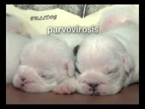 Parvovirus en perros, información y prevención de esta enfermedad mortal