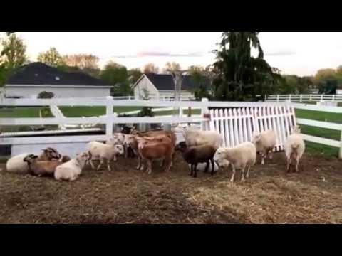 (4/22/2017) Katahdin Hair Sheep Update / Take Two