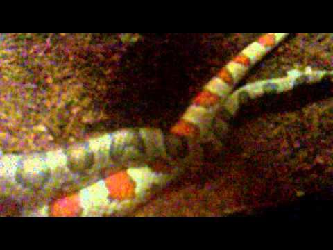 Acasalamento Cobra do Milho