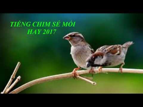 Tiếng chim mồi hay - Chim sẻ mồi 2017 \