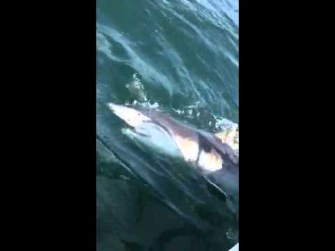 Tiger shark fishing myrtle beach youtube for Shark fishing myrtle beach