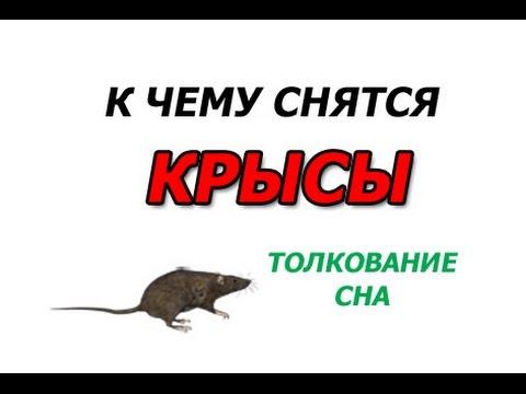 крыса к чему сниться