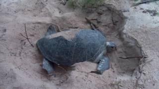 Rùa Biển Đẻ Trứng - Sea Turtle Making Nest.