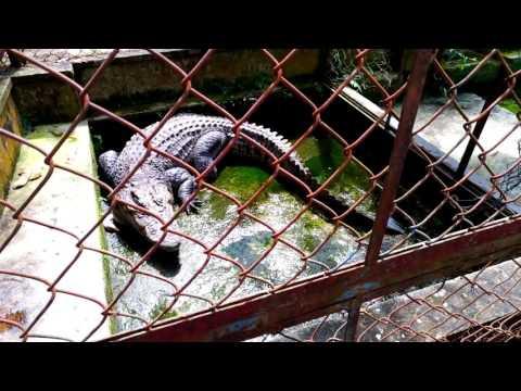 Thay nước và cho cá sấu ăn