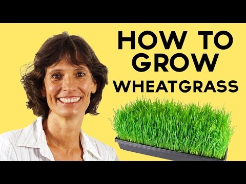 How To grow Wheatgrass so that CANCER is curable NOW