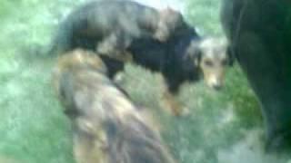 Perros Apareandose- Hermafroditas.MP4