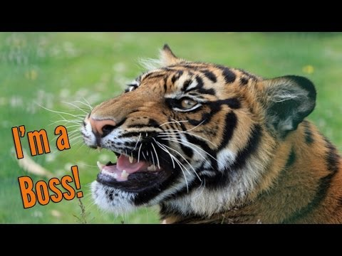 6 Reasons Tigers are True Bosses