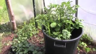 Cultivo de patatas en cubo