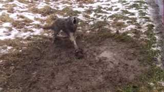 Winter Coyote Dirthole Trapping