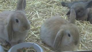 How To Take Care Of A Mini Lop Rabbit