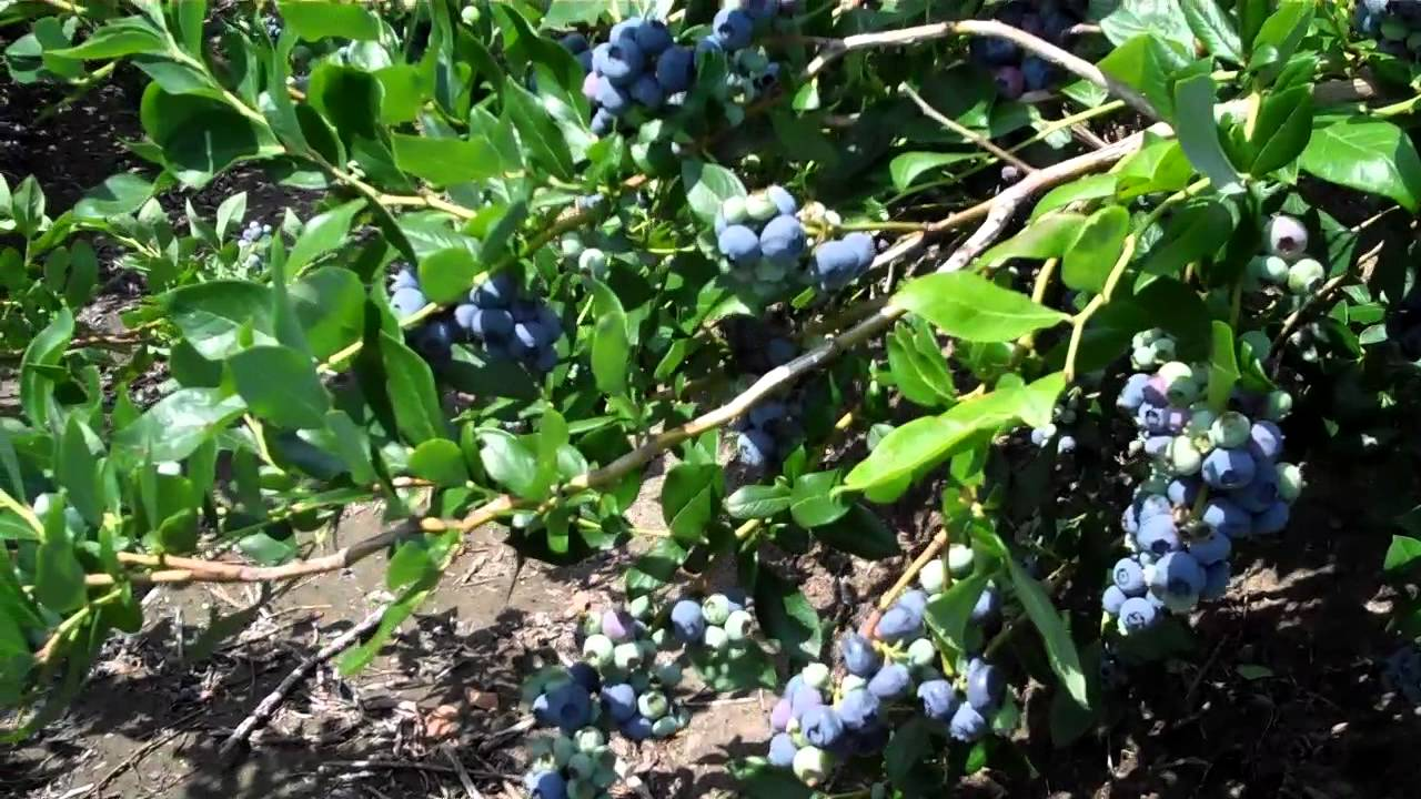 Mature Blueberry Plants 19