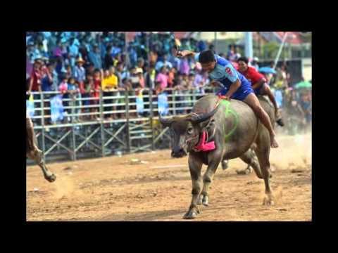 Lễ hội đua trâu sôi động ở Thái Lan- By Vé máy bay An Phát