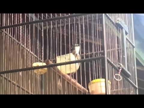 Burung langka poksay rawa
