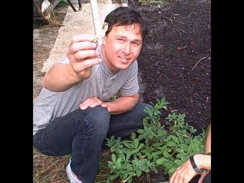 Growing Wild Jungle Peanuts, Vegetables &amp; More in a South Florida Backyard Garden