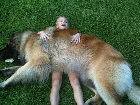The Leonberger Is The Most Leonberger Attack