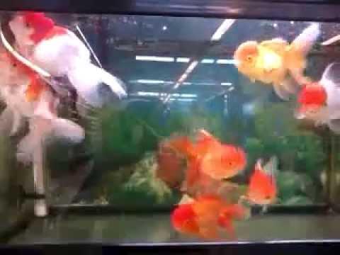 Ikan Hias ORANDA | Ikan Mas Koki ORANDO