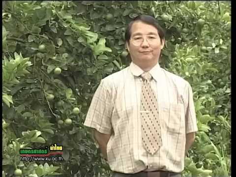 มะนาว -  มะนาวนอกฤดู