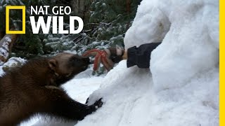 Nat Geo: Wolverine to the Rescue!