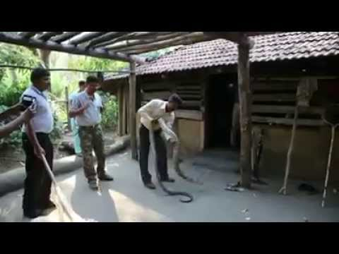 12 ft  King Cobra Ophiophagus hannah inside the house Karwar Karnataka