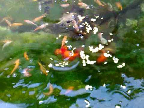 Estanque en una pileta de lona peces de agua fria el for Estanque de peces