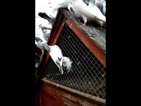Shakeel's Pigeons for sale