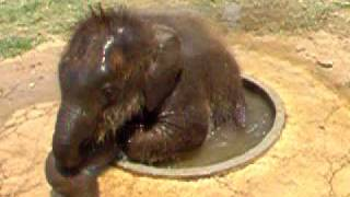 Cute Baby Elephant Taking a Bath