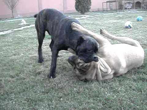 cane corso vs dogo canario - YouTube