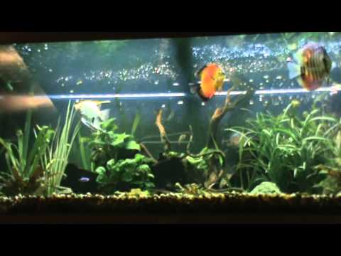 acuario tropical con peces disco