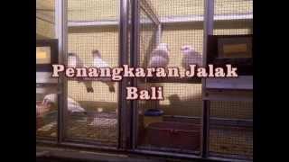 Penangkaran Jalak Bali
