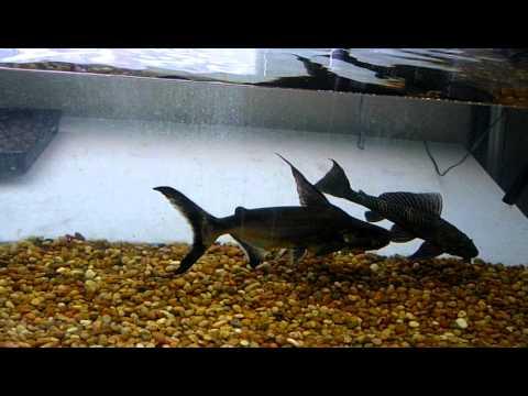 Paroon Shark/ Catfish - YouTube
