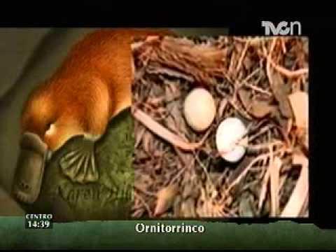 Instinto Animal - El ornitorrinco