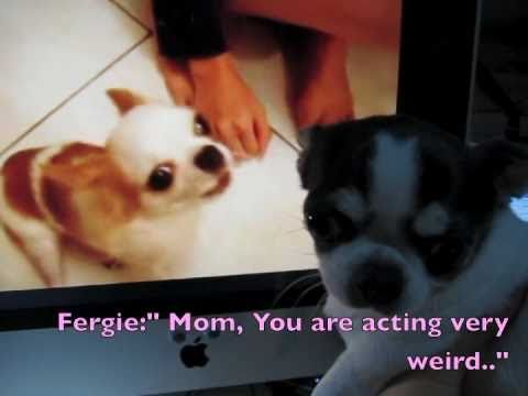 ★肥雞學雞啼★Teaching Fergie Crowing like A Rooster