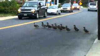 Duck Army Marches Single-File Across Street