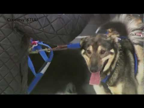 CLTV News:  West Suburban man competes in the Iditarod