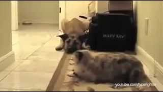 Dogs Terrified Of Walking Past Cats, A Dramatic