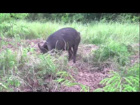 Hình ảnh trong video Hog hunting with a Recurve!!