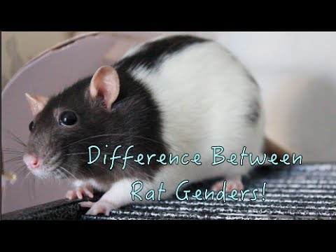 Difference Between Rat Genders!
