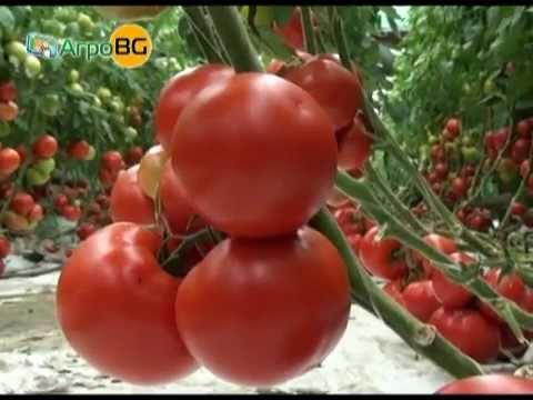 Панекра -- новият хибрид домати на Синджента