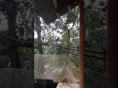 Chim khuou hot dong cuc cao