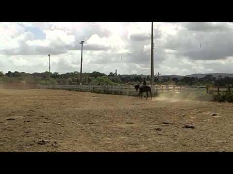 Inciando um cavalo de vaquejada - Paulo Henrique Coelho
