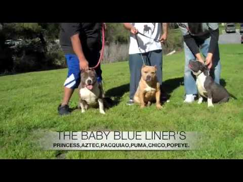 PITBULLS BLUE LINE BLOOD LINE BBQ AMERICAN BULLIES TOP OF THE FOOD CHAIN