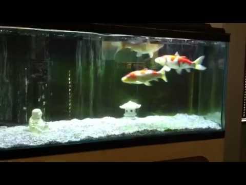 Koi in aquarium youtube for Koi im aquarium