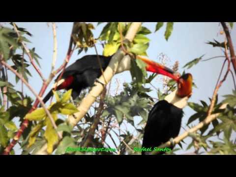 Tucanos - casal caçando e dividindo