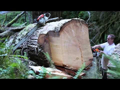 PILTZ cutting 54 inch old growth Timber with MS250