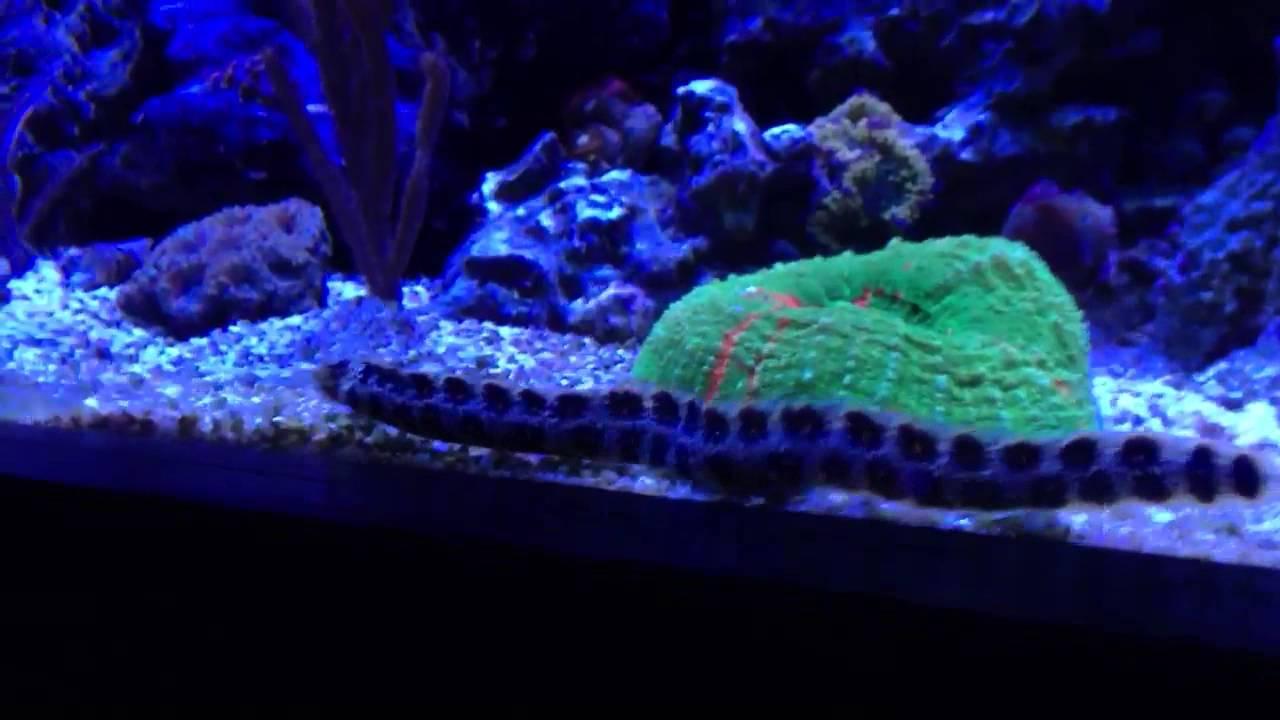 Snowflake Eel in Reef Tank - YouTube