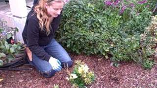 How To Prune Alstroemeria Or Peruvian Lily.AVI