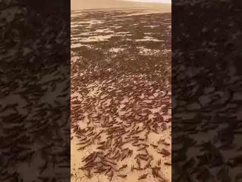 东非降天灾:蝗灾数十年仅见 宛如圣经景象(视频)