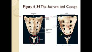Chapter 6 The Skeletal system Part 2