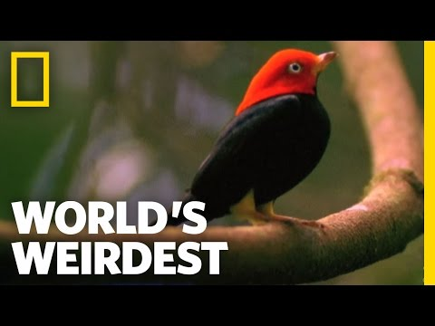 NatGeoWild - World's Weirdest - Birds