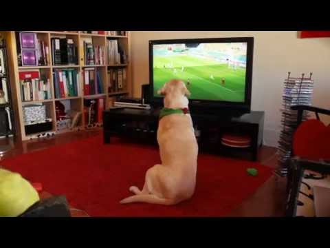 labrador dog reacts to Portugal's elimination from the World Cup